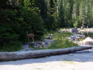 Mule deer at Avalanche Lake, Glacier National Park